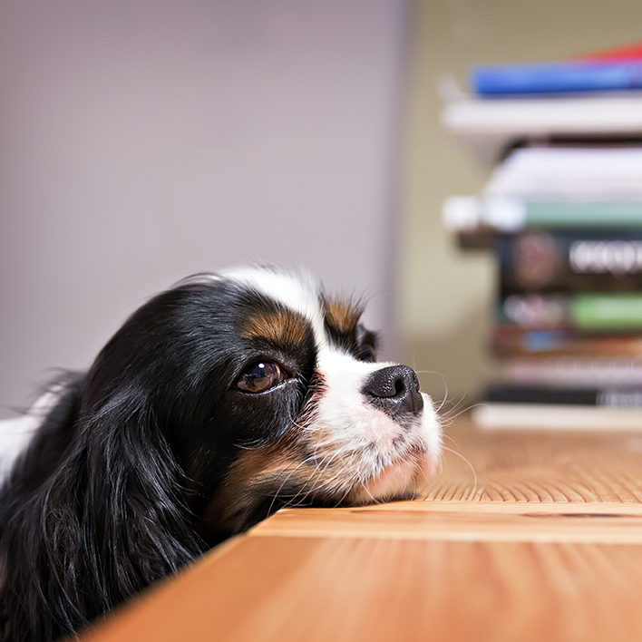 cute dog lays his head on the table